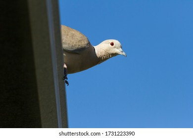 turtledove on a branch with a blue background