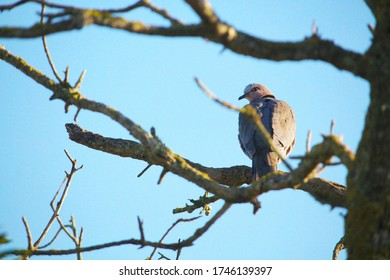Turtledove perching on a branch against a blue sky background, in the Garden Route region of South Africa.