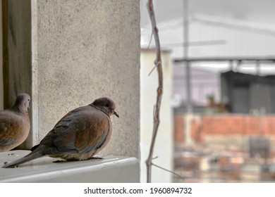 turtledove and pigeons on metal platform standing together. It is looking around with it magnificent black eyes.