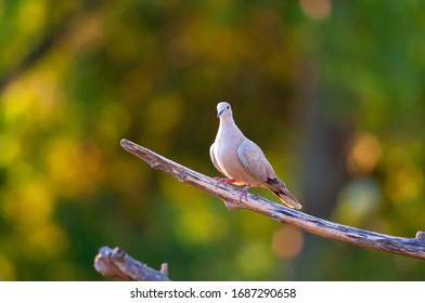 turtledove posing on tree branch in late afternoon light. Chiavari, Italy august 23rd 2009