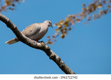 Turtledove rests on a branch of a tree with a clear blue sky in the background
