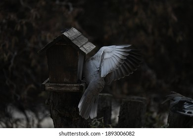 The turtledove in this cozy nest