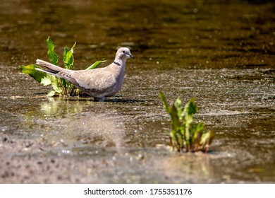 turtledove at the watering hole