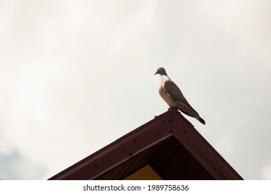 a turtledove or a wild pigeon sits on the crumb of a house