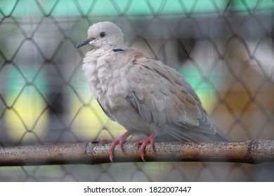 turtledoves have a melodious and unique voice