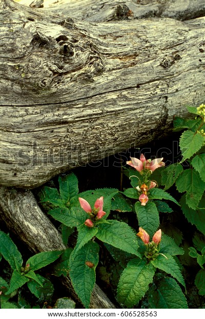 Turtlehead Flowers and fallen tree (Chelone glabra) at Mount Mitchell, State Park, NC
