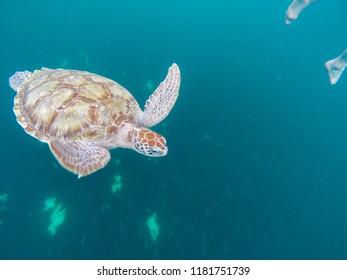 Turtles of Barbados