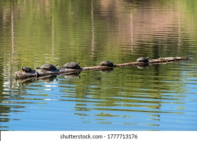 Turtles basking in the sun on a log in a pond.