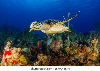 Turtles in the island of Grand Cayman