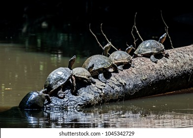 Turtles in line on a tree trunk at Tortuguero National Park