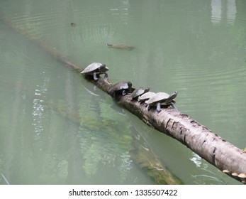 Turtles lined up on tree trunk floating in artificial park lake