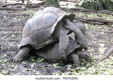 Turtles in love, Zanzibar
