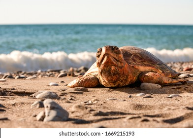 Turtles Are Reptiles Of The Order Characterized By A Special Bony Or Cartilaginous Shell Developed From Their Ribs That Acts As A Shield