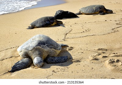 turtles resting on the North Shore, Oahu, Hawaii