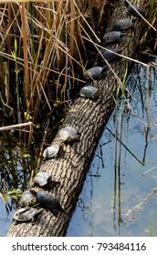 Turtles in row