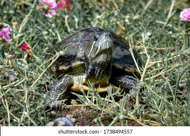 Turtles are scaly quadrupeds which belong to the reptile group. This animal nation called Testudinata is unique and easily recognized by the presence of a hard and stiff shell or house.