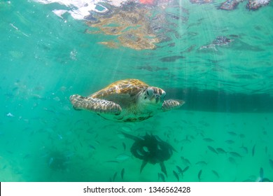turtles swims in the clear ocean near the island of Mauritius
