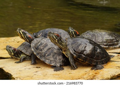 Turtles,decorative turtle - Trachemys scripta elegans