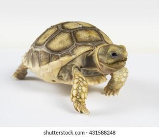 Turtle,Sulcata tortoise, African spurred tortoise (Geochelone sulcata),isolated on white background