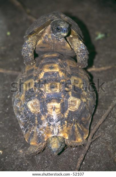 Turtoises mating