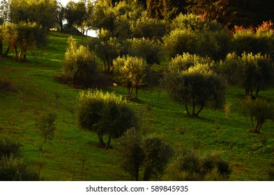 Tuscan olive trees and vineyards landscape fields in the area of Greve in Chianti, near Florence,  Italy