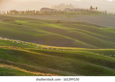 Tuscan sheep in rolling green fields in yellow sunset.