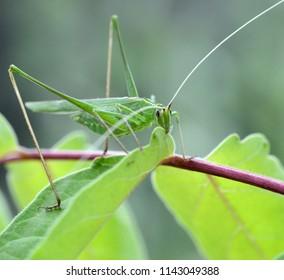 tuscany, big green locust, tettigonia viridissima, eats a green leaf of a plant