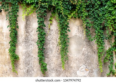 Tuscany, Italy with closeup of stone wall in Monticchiello small town village and creeping climbing green plant