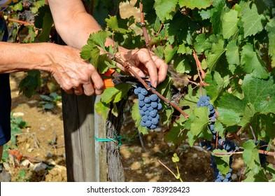 Tuscany, Italy, September 17, 2015: Grape harvesting in Tuscany, Italy