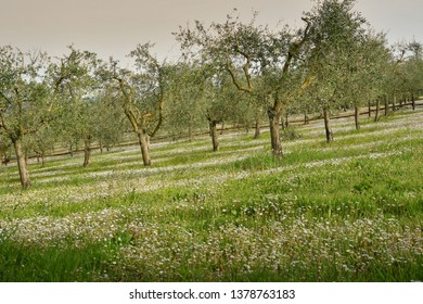 Tuscany Landscape with olive trees and daisies in spring season. Italy.