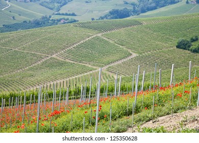 Tuscany. Vineyard in the middle of the most famous wine region of Italy.