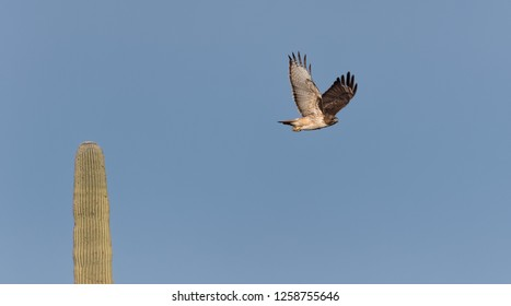 Tuscon, Arizona / USA - December 7, 2018: A red-tailed hawk flys by a saguaro cactus in Saguaro National Park.