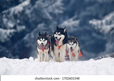TUSNAD, ROMANIA - february 02 : portrait of dogs participating in the Dog Sled Racing Contest. On February 02, 2019 in TUSNAD, Romania