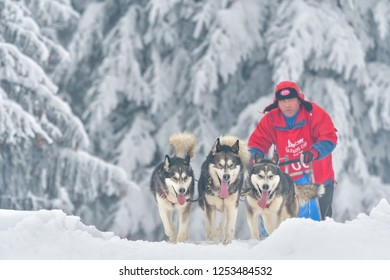 TUSNAD, ROMANIA - january 28: portrait of dogs participating in the Dog Sled Racing Contest. On January 28, 2018 in TUSNAD, Romania