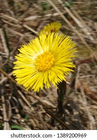 Tussilago farfara (coltsfoot) flower detail in the nature in spring