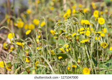 Tussilago farfara, commonly known as coltsfoot