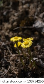 Tussilago farfara, commonly known as coltsfoot, is a plant in the groundsel tribe in the daisy family Asteraceae, has been used in herbal medicine and has been consumed as a food product
