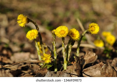 Tussilago farfara medicinal plant. Bright yellow flowers coltsfoot (Tussilago farfara) on a brown background of dry leaves. The first spring flower. Close up.