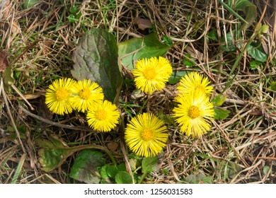 Tussilago Farfara. Medicinal plant coltsfoot  is blooming in the meadow in early spring.
