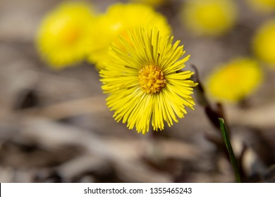 Tussilago flower. Coltsfoot. Macro coltsfoot.