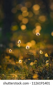 Tussock cottongrass in swarm summerlight