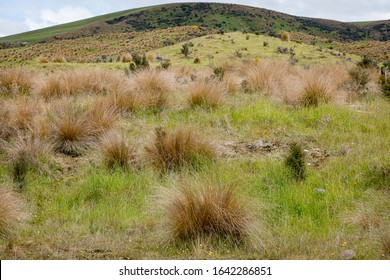 Tussock grassland near Mossburn, New Zealand. It is a form of open grassland with tussock bunchgrass species, common in some Temperate grasslands, savannas, and shrublands ecoregions.