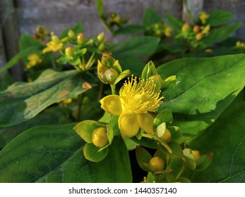 Tutsan a larger flowered variety of Hypericum, or St. John's Wort - a shrub with yellow flowers and black berries