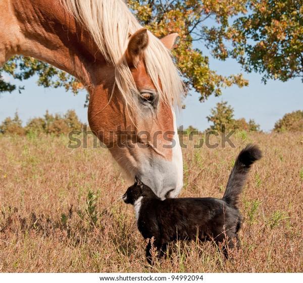 tuxedo-cat-big-horse-best-600w-94992094.