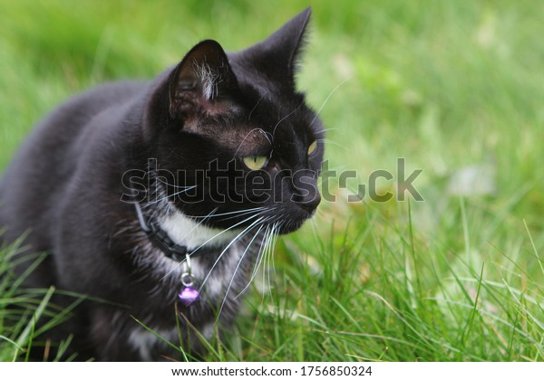Tuxedo cat in the garden, wearing a cat collar and bell