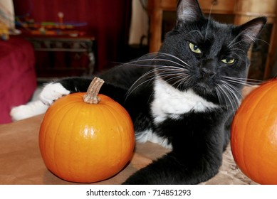 Tuxedo cat posing with two small orange pumpkins