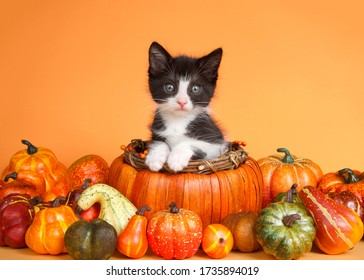Tuxedo kitten sitting up with paws on side of an autumn pumpkin basket surrounded by pumpkins, squash and gourds on orange background looking directly at viewer.