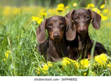 tvo dachshund and dandelions