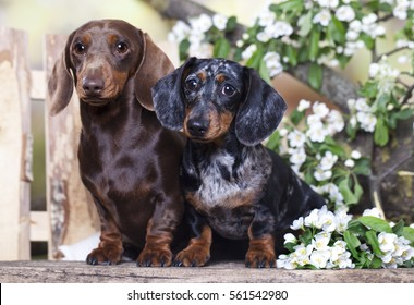 Tvo Dachshund dog and spring flowers