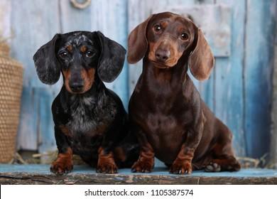 Tvo  Dachshunds dogs portrait